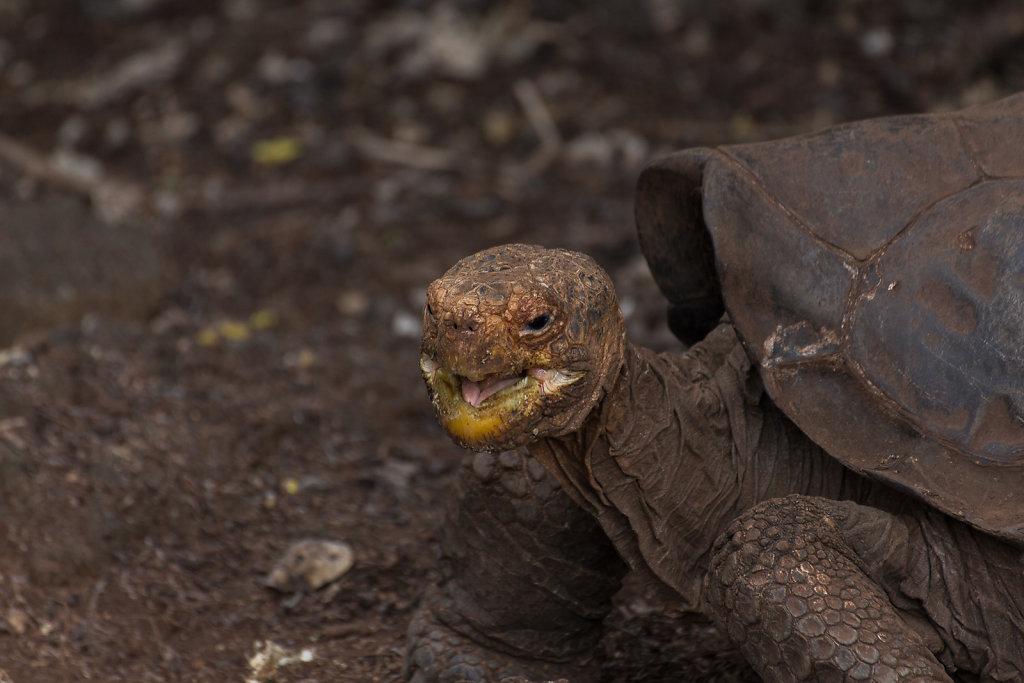 Saddleback Turtoise