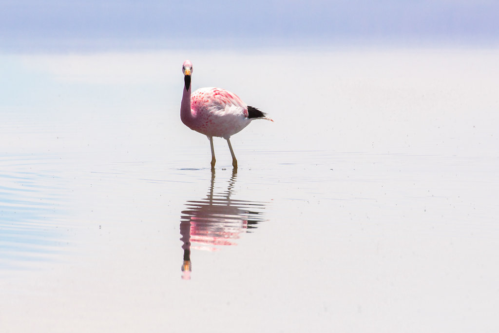 Flamingos in der Atacama-Wüste